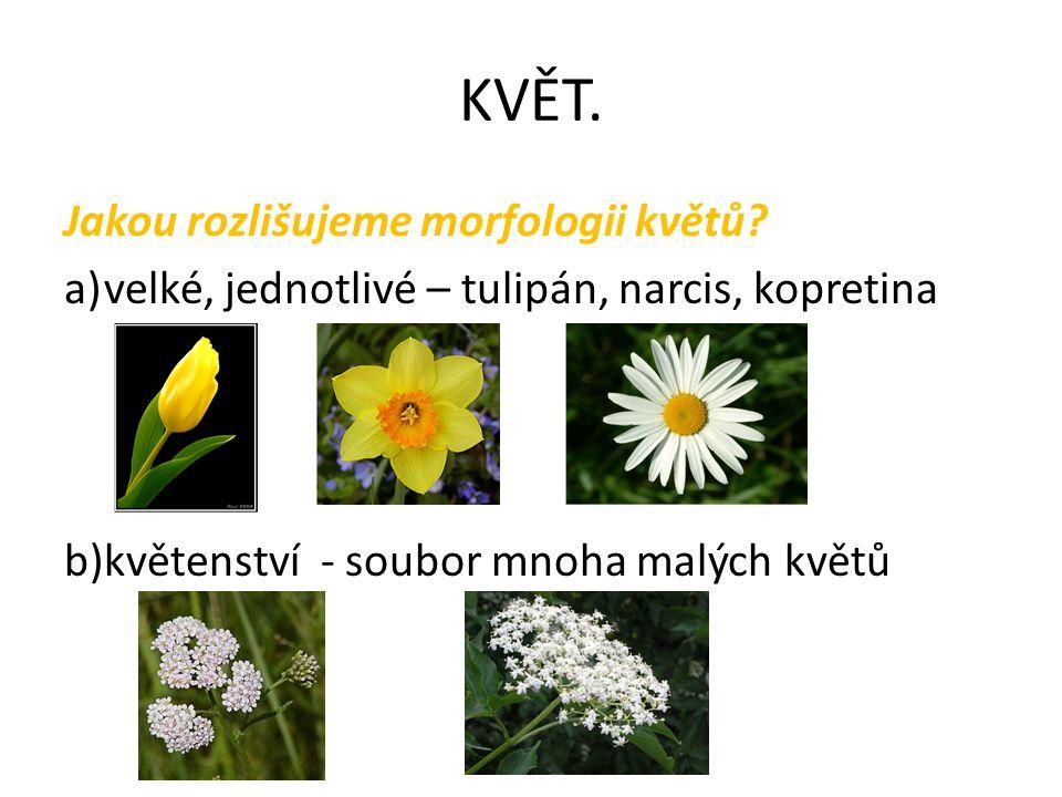 KVĚT. Jakou rozlišujeme morfologii květů? a)velké, jednotlivé – tulipán, narcis, kopretina b)květenství - soubor mnoha malých květů