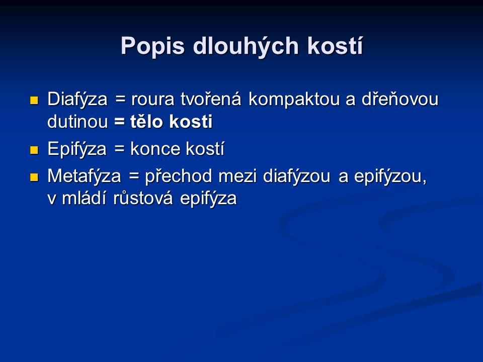 Popis dlouhých kostí Diafýza = roura tvořená kompaktou a dřeňovou dutinou = tělo kosti Diafýza = roura tvořená kompaktou a dřeňovou dutinou = tělo kosti Epifýza = konce kostí Epifýza = konce kostí Metafýza = přechod mezi diafýzou a epifýzou, v mládí růstová epifýza Metafýza = přechod mezi diafýzou a epifýzou, v mládí růstová epifýza