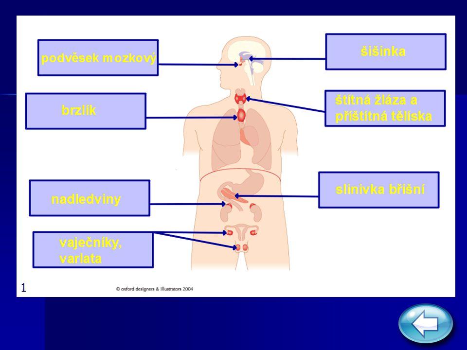 Soustava žláz s vnitřní sekrecí Podvěsek mozkový (hypofýza) Podvěsek mozkový (hypofýza) ovlivňuje činnost ostatních endokrinních žláz ovlivňuje činnost ostatních endokrinních žláz je spojen s mezimozkem je spojen s mezimozkem jeho hormony ovlivňují růst, činnost pohlavních orgánů, ledvin, štítné žlázy a urychlují porod jeho hormony ovlivňují růst, činnost pohlavních orgánů, ledvin, štítné žlázy a urychlují porod rozlišujeme přední a zadní lalok hypofýzy rozlišujeme přední a zadní lalok hypofýzy