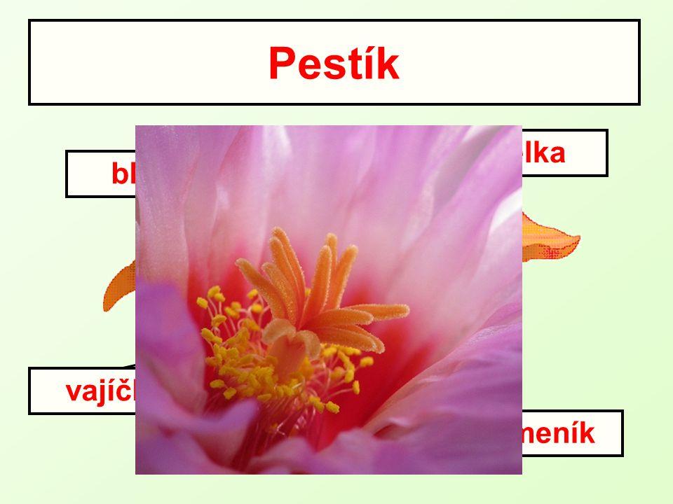 Pestík vajíčko semeník čnělka blizna