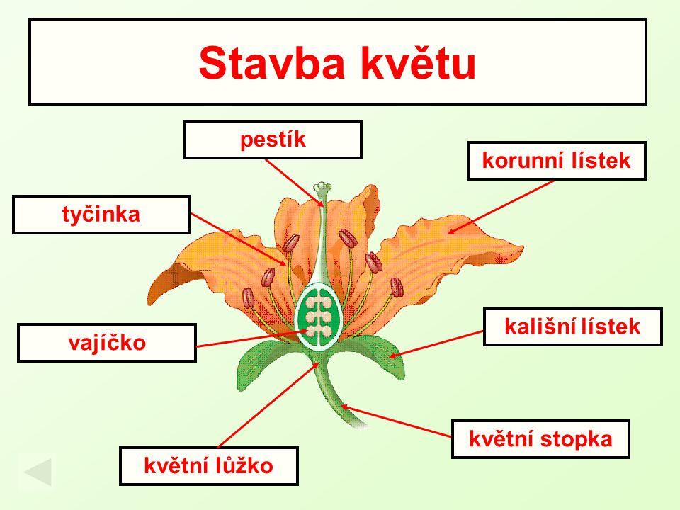 Stavba květu vajíčko květní stopka kališní lístek korunní lístek tyčinka pestík květní lůžko