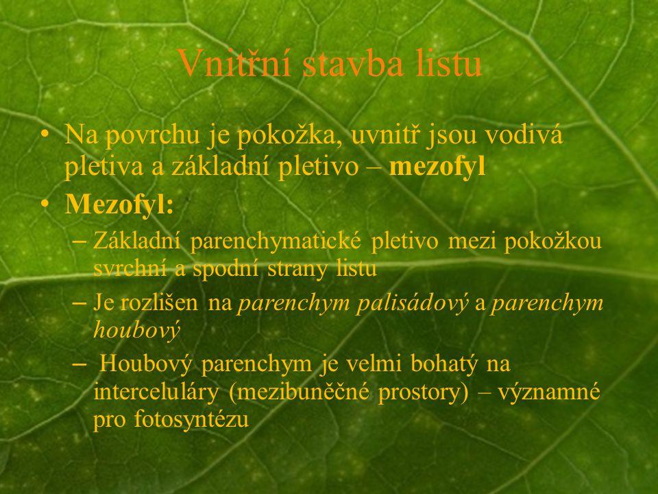 © Letohradské soukromé gymnázium o.p.s. Vnitřní stavba listu Na povrchu je pokožka, uvnitř jsou vodivá pletiva a základní pletivo – mezofyl Mezofyl: –
