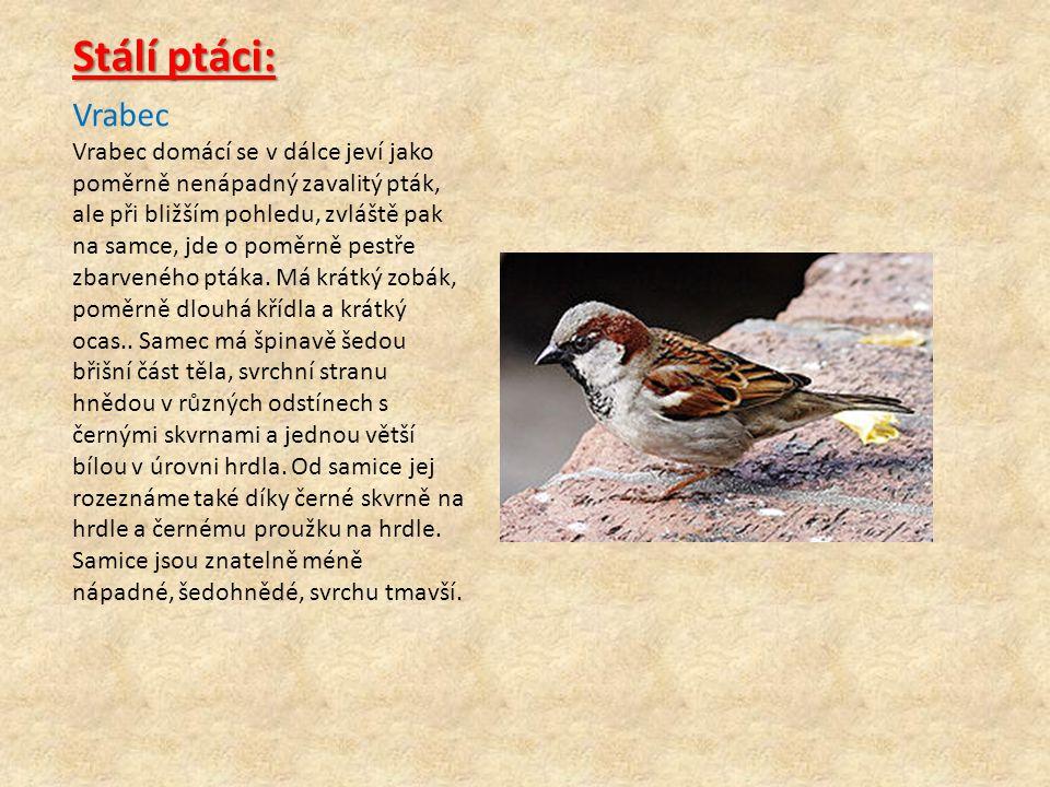 Vrabec Vrabec domácí se v dálce jeví jako poměrně nenápadný zavalitý pták, ale při bližším pohledu, zvláště pak na samce, jde o poměrně pestře zbarven