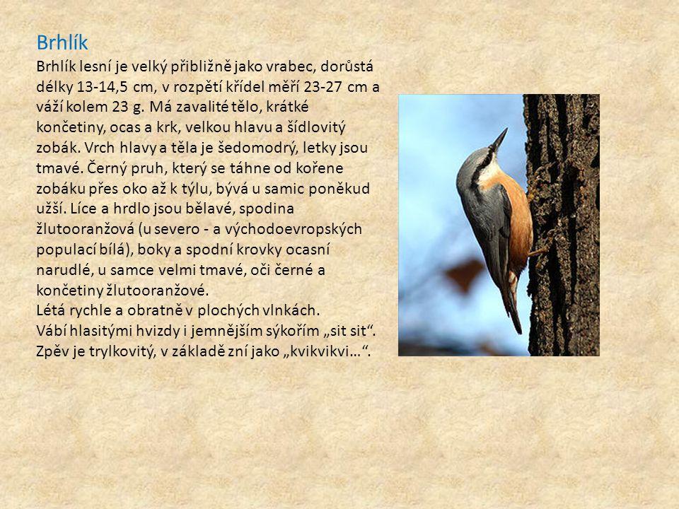 Brhlík Brhlík lesní je velký přibližně jako vrabec, dorůstá délky 13-14,5 cm, v rozpětí křídel měří 23-27 cm a váží kolem 23 g. Má zavalité tělo, krát