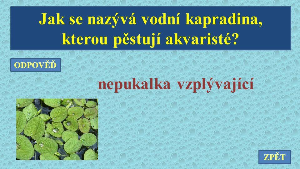 Jak se nazývá vodní kapradina, kterou pěstují akvaristé? nepukalka vzplývající ZPĚT ODPOVĚĎ