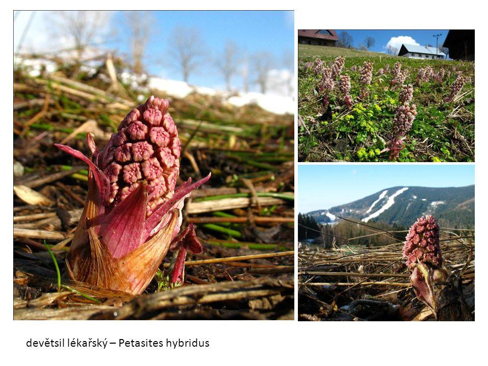 devětsil lékařský – Petasites hybridus