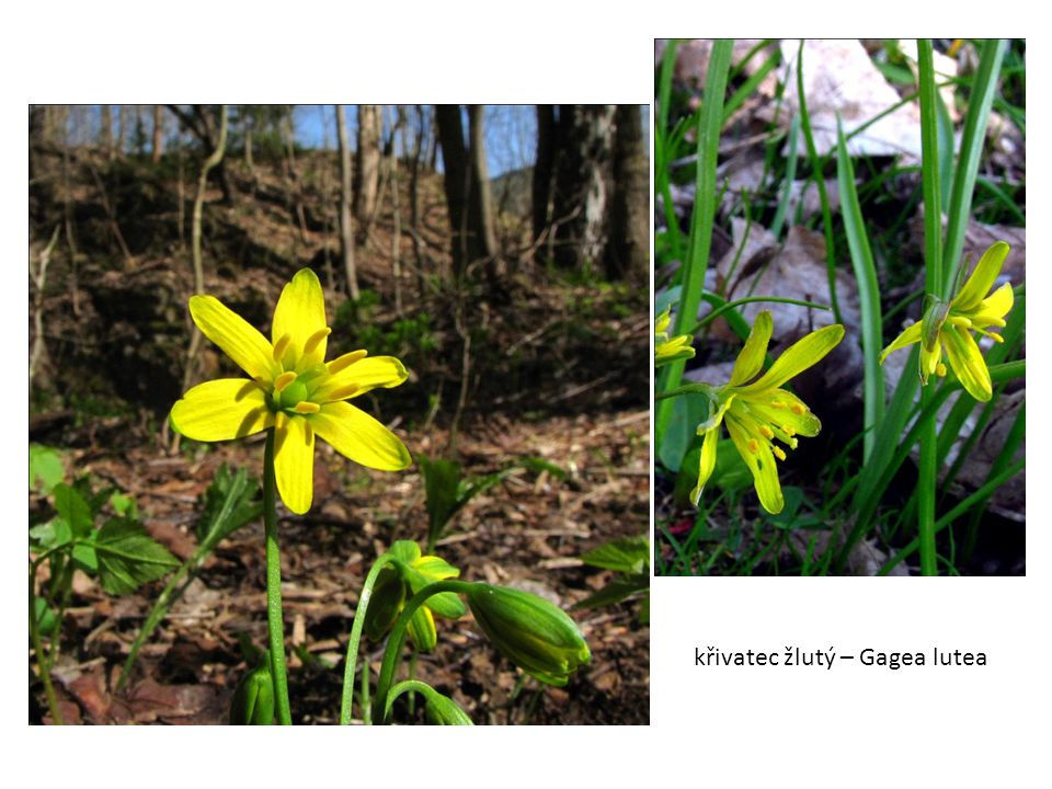 křivatec žlutý – Gagea lutea