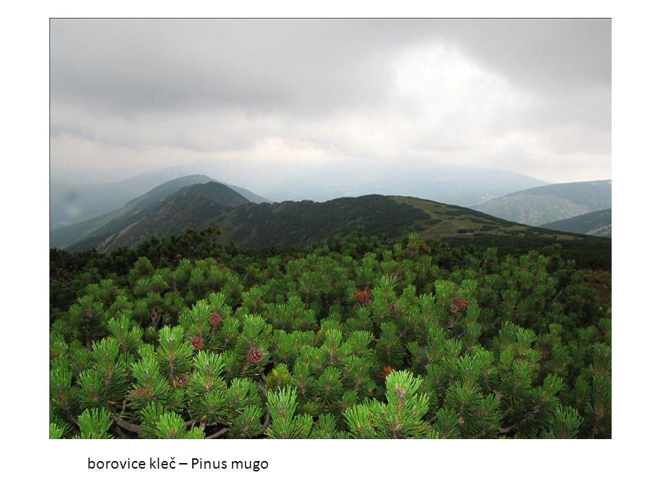 borovice kleč – Pinus mugo