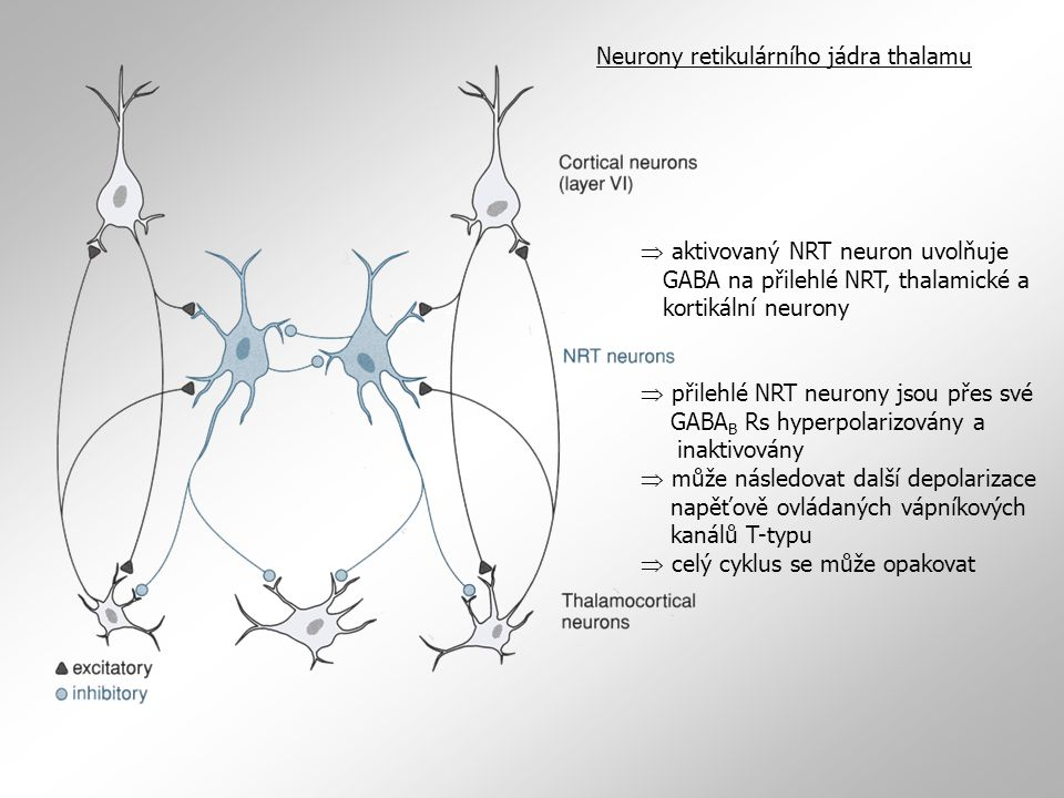  aktivovaný NRT neuron uvolňuje GABA na přilehlé NRT, thalamické a kortikální neurony  přilehlé NRT neurony jsou přes své GABA B Rs hyperpolarizovány a inaktivovány  může následovat další depolarizace napěťově ovládaných vápníkových kanálů T-typu  celý cyklus se může opakovat Neurony retikulárního jádra thalamu