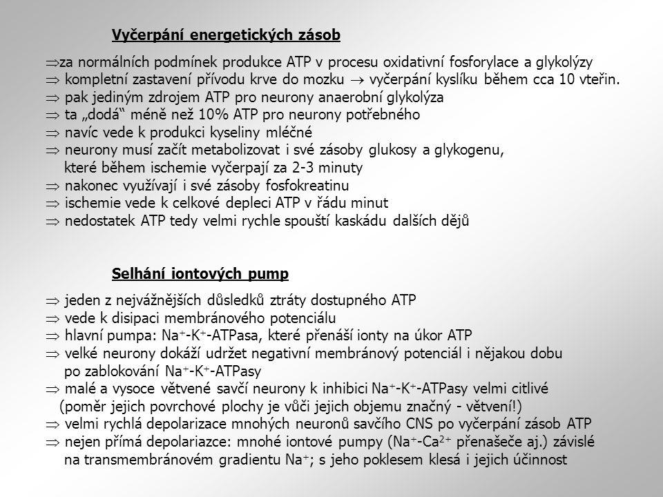 Depolarizace membrány a vznik akčních potenciálů  selhání Na + -K + -ATPasy  depolarizace membrány  případně vznik APs  se vzrůstem frekvence APs dále roste i míra depolarizace membrány  více a více se snižují rozdíly v koncentracích iontů na obou stranách membrány  roste výlev neuropřenašečů ze zakončení neuronů  neuropřenašeče excitační (glutamát)  depolarizace a vznik APs i neuronech sousedních  větší rozsah poškození  selhání neuropřenašečových transportních systémů (Glu): reuptake závislý na ATP  ATP není dostupné  pokles aktivity glutamátových transportérů  nefyziologicky vysoké koncentrace glutamátu v synaptické štěrbině  aktivace glutamátové receptory po neúměrně dlouhou dobu Vzrůst intracelulární koncentrace Ca 2+  za normálních klidových podmínek cytoplasmatická koncentrace vápníku v neuronu zhruba 100 nM, koncentrace extracelulární asi 1 mM  rozdíl čtyřech řádů udržován hlavně díky ATP-dependentním vápníkovým pumpám  vyčerpání zásob ATP  a snížení nebo zástava činnosti vápníkových pump a transportérů  vstup Ca 2+ po koncentračním gradientu do buňky  depolarizace membrány  další otevírání napěťově ovládaných vápníkových kanálů  další vtok Ca 2+  glutamát uvolňovaný okolními depolarizovanými neurony také může navodit vtok vápníku NMDA receptory