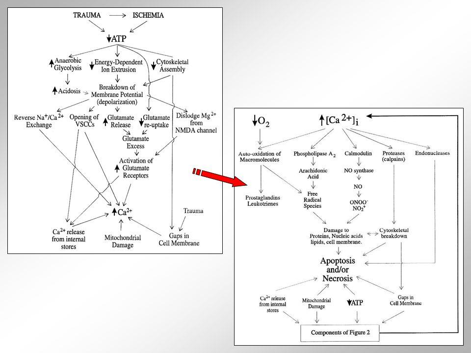  vícefaktorové podmínění vzniku křečové aktivity, tedy synchronního generování akčních potenciálů omezenou skupinou neuronů  pomocí MRI či jiných zobrazovacích technik detekovatelná ložiska křečí  ložiska nezřídka spojena se skupinami degenrujících neuronů nebo s mozkovým nádorem  nástup křečové aktivity může být podmíněn i celkovým snížením obsahu inhibičních neuropřenašečů v mozkové tkáni  u vnímavých jedinců může způsobit křeče i hyperventilace (zvýšení pCO 2 ) nebo světelné záblesky  tendence neuronů generovat synchronně akční potenciály souvisí i s mírou jejich vzájemného propojení  neurony v jednom regionu mozku bohatě recipročně propojeny spolu i s neurony v jiných oblastech mozkového parenchymu  např.
