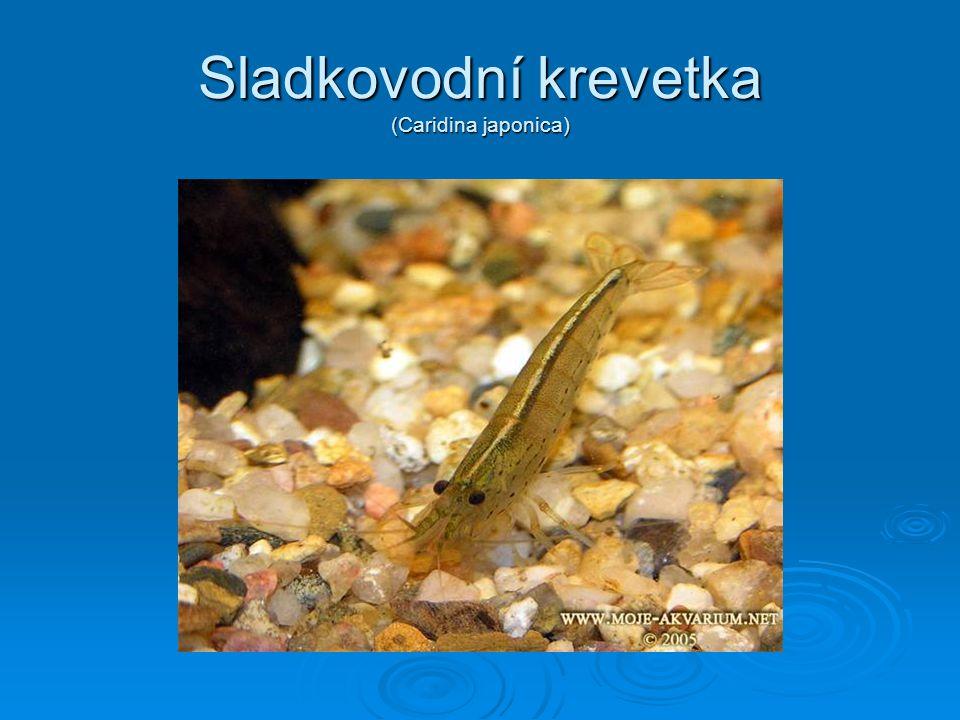 Sladkovodní krevetka (Caridina japonica)