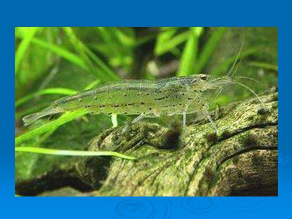 Kreveta rodu Rhynchocinetes