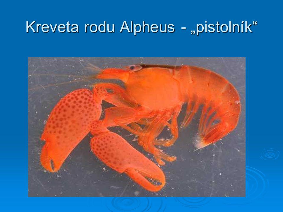 """Kreveta rodu Alpheus - """"pistolník"""""""