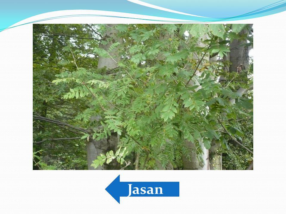 Jasan