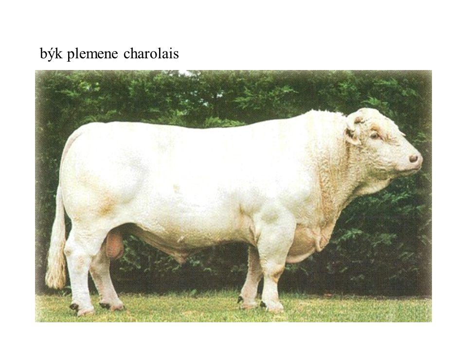 býk plemene charolais