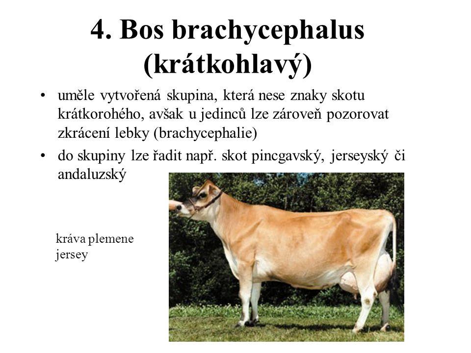 4. Bos brachycephalus (krátkohlavý) uměle vytvořená skupina, která nese znaky skotu krátkorohého, avšak u jedinců lze zároveň pozorovat zkrácení lebky