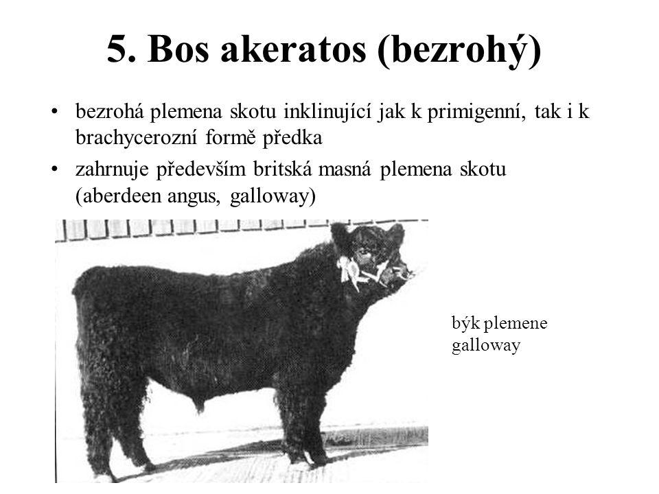 5. Bos akeratos (bezrohý) bezrohá plemena skotu inklinující jak k primigenní, tak i k brachycerozní formě předka zahrnuje především britská masná plem