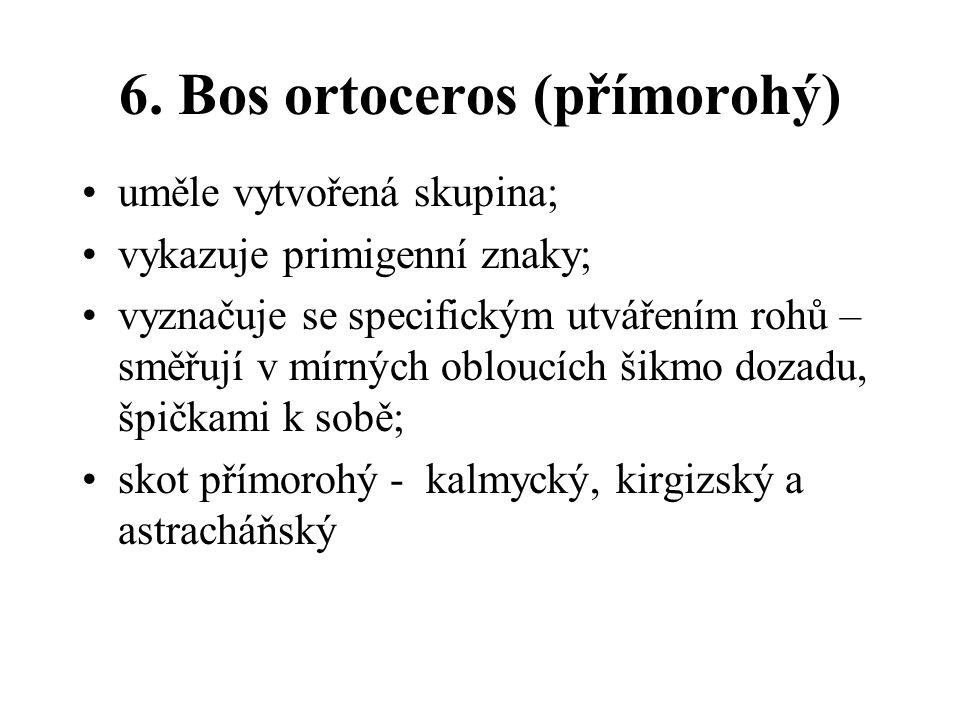 6. Bos ortoceros (přímorohý) uměle vytvořená skupina; vykazuje primigenní znaky; vyznačuje se specifickým utvářením rohů – směřují v mírných obloucích