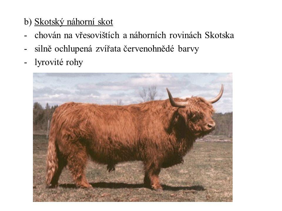b) Skotský náhorní skot -chován na vřesovištích a náhorních rovinách Skotska -silně ochlupená zvířata červenohnědé barvy -lyrovité rohy