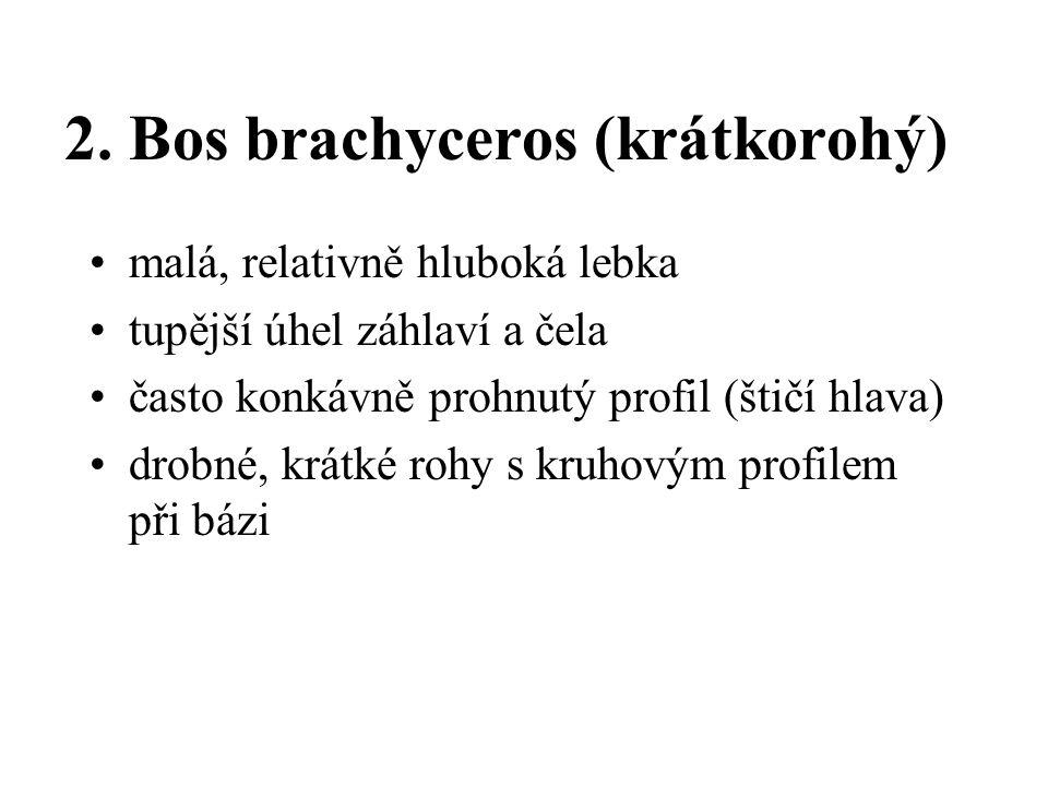 2. Bos brachyceros (krátkorohý) malá, relativně hluboká lebka tupější úhel záhlaví a čela často konkávně prohnutý profil (štičí hlava) drobné, krátké