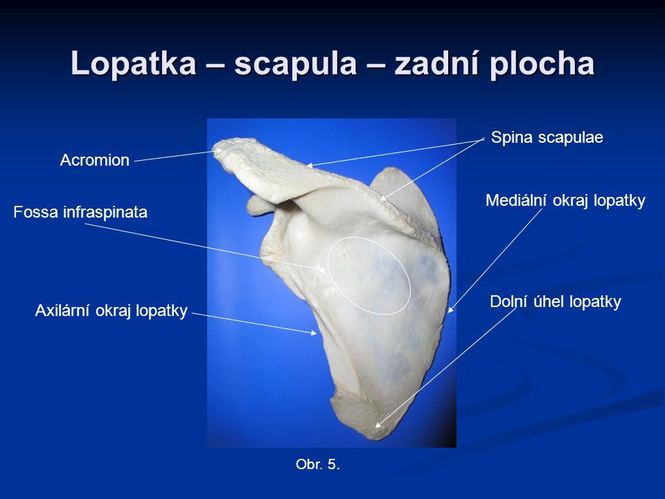 Lopatka – scapula – zadní plocha Mediální okraj lopatky Dolní úhel lopatky Axilární okraj lopatky Acromion Spina scapulae Obr. 5. Fossa infraspinata