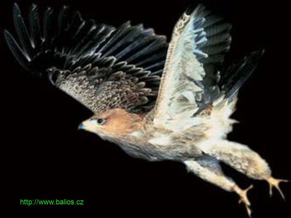 Aves - Ptáci Hlavní znaky - Aerodynamický tvar těla, horní končetiny - křídla (druhotná ztráta letu u některých skupin či jednotlivých druhů).