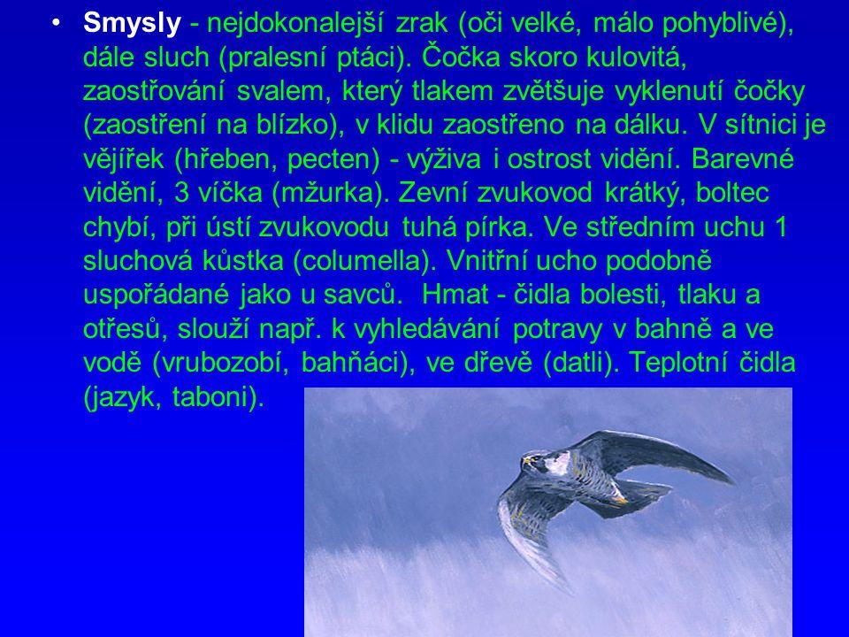 Smysly - nejdokonalejší zrak (oči velké, málo pohyblivé), dále sluch (pralesní ptáci). Čočka skoro kulovitá, zaostřování svalem, který tlakem zvětšuje
