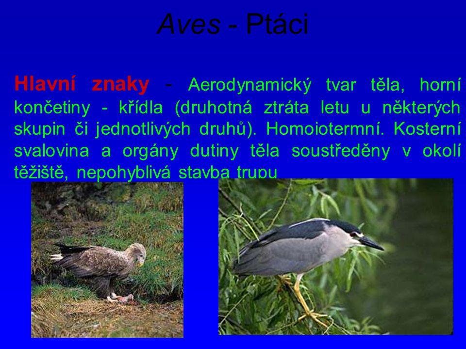Aves - Ptáci Hlavní znaky - Aerodynamický tvar těla, horní končetiny - křídla (druhotná ztráta letu u některých skupin či jednotlivých druhů). Homoiot