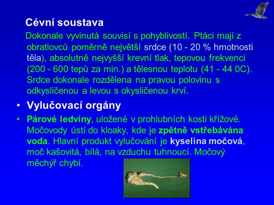 Cévní soustava Dokonale vyvinutá souvisí s pohyblivostí. Ptáci mají z obratlovců poměrně největší srdce (10 - 20 % hmotnosti těla), absolutně nejvyšší