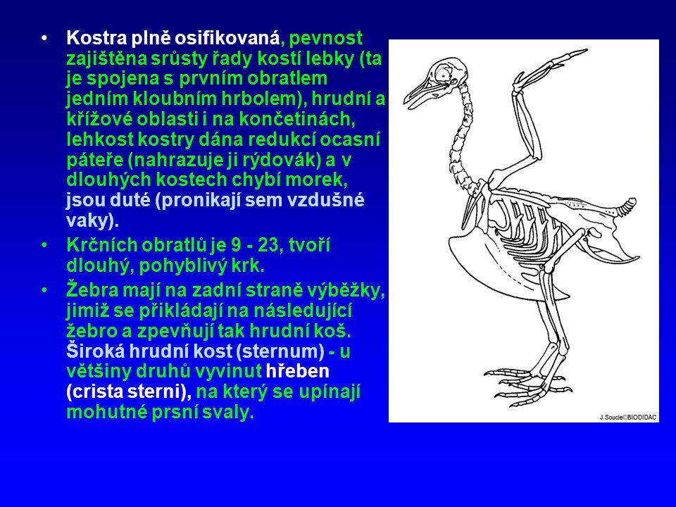 Trávicí soustava - dutina zobáku, bez zubů, kryta rohovinou včetně jazyka.