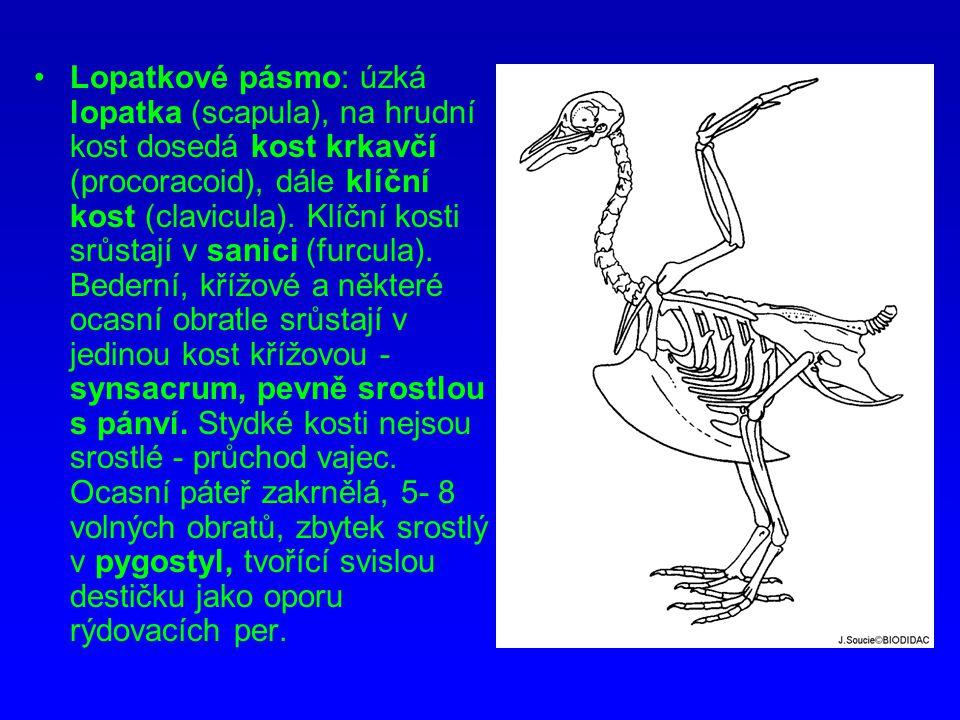 Lopatkové pásmo: úzká lopatka (scapula), na hrudní kost dosedá kost krkavčí (procoracoid), dále klíční kost (clavicula). Klíční kosti srůstají v sanic