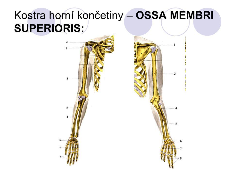 Kostra horní končetiny – OSSA MEMBRI SUPERIORIS: