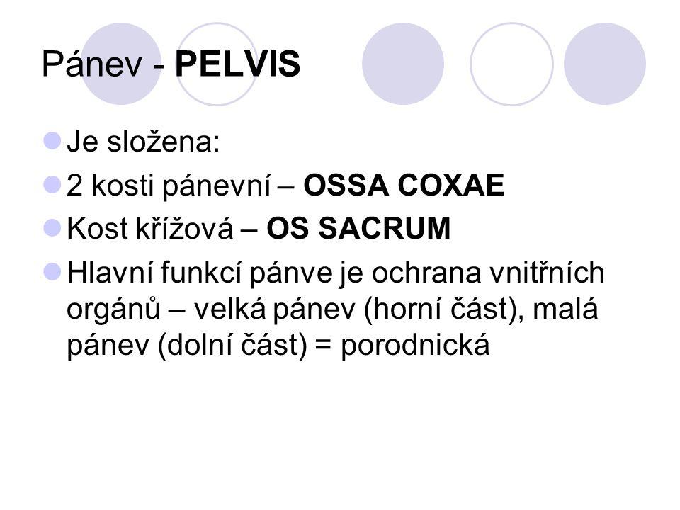 Pánev - PELVIS Je složena: 2 kosti pánevní – OSSA COXAE Kost křížová – OS SACRUM Hlavní funkcí pánve je ochrana vnitřních orgánů – velká pánev (horní