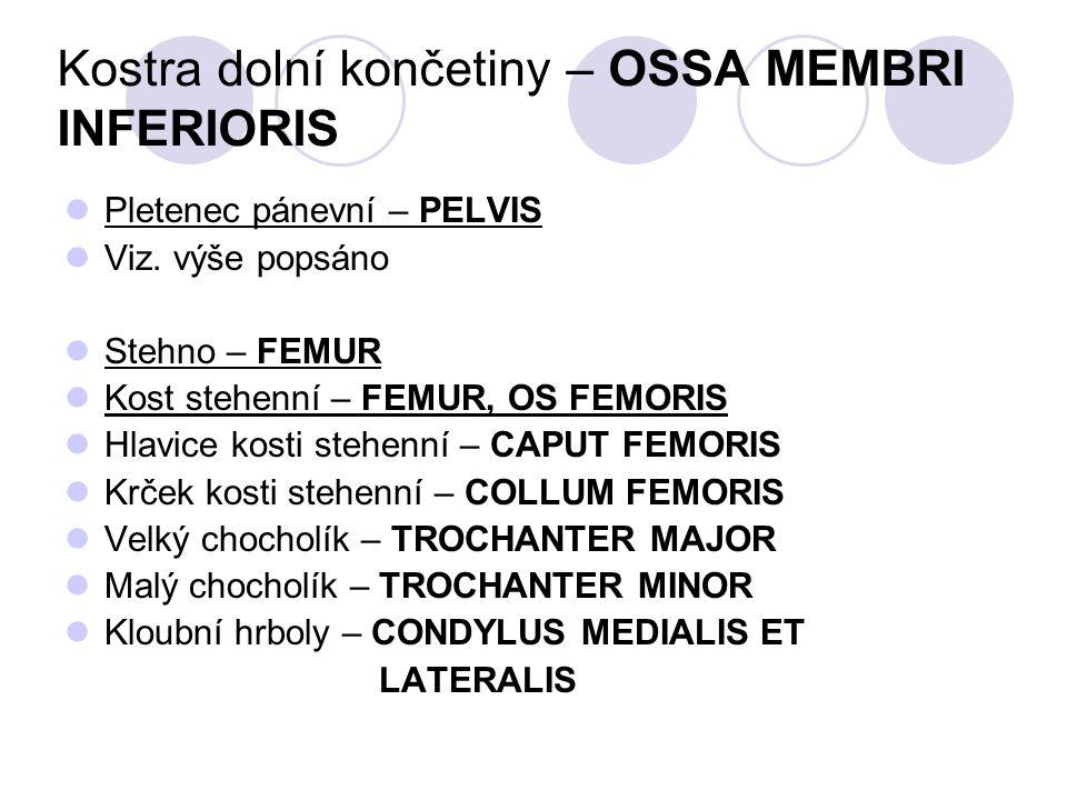 Kostra dolní končetiny – OSSA MEMBRI INFERIORIS Pletenec pánevní – PELVIS Viz. výše popsáno Stehno – FEMUR Kost stehenní – FEMUR, OS FEMORIS Hlavice k