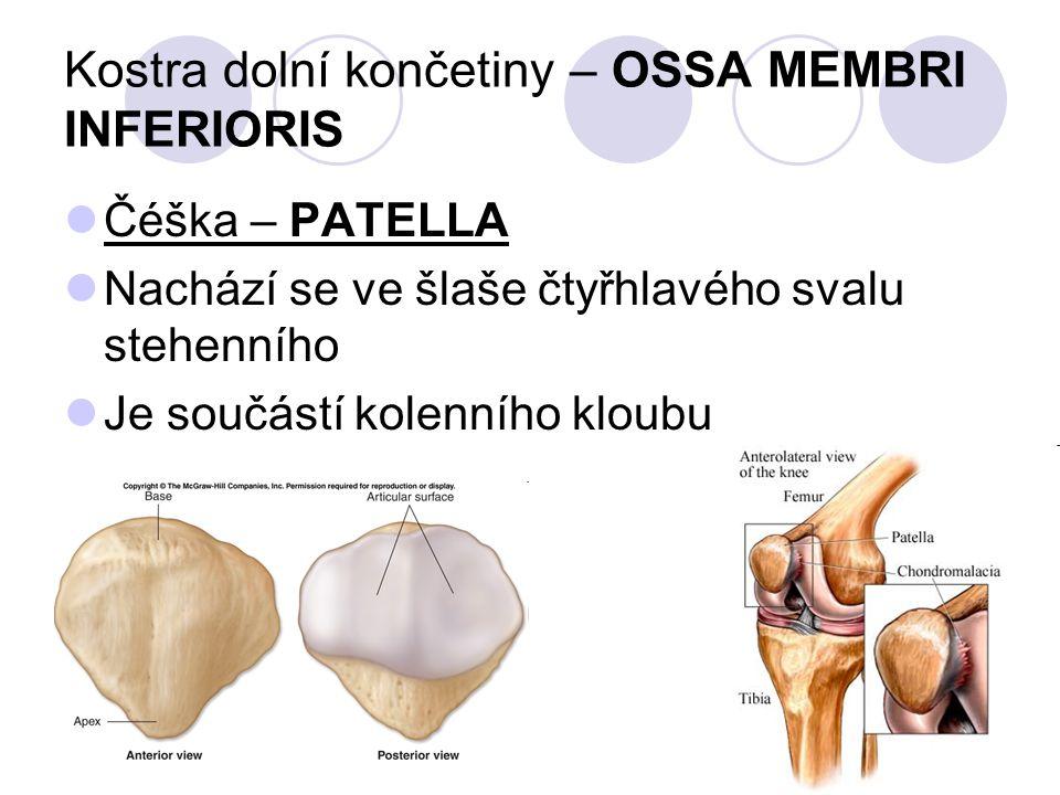 Kostra dolní končetiny – OSSA MEMBRI INFERIORIS Čéška – PATELLA Nachází se ve šlaše čtyřhlavého svalu stehenního Je součástí kolenního kloubu