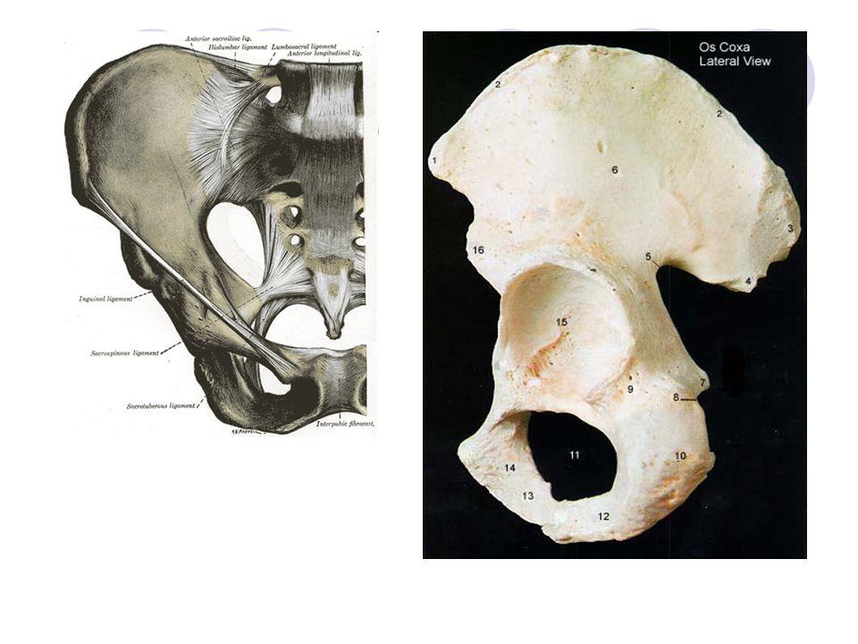 Kost stydká – OS PUBIS spona kosti stydké – SYMPHYSIS PUBICA – destičková chrupavka se silnými vazivovými pruhy (důležitá u porodu – působením hormonů dojde k jejímu rozvolnění) Ucpaný otvor – FORAMEN OBTURATUM – obkružuje jej kost stydká a sedací