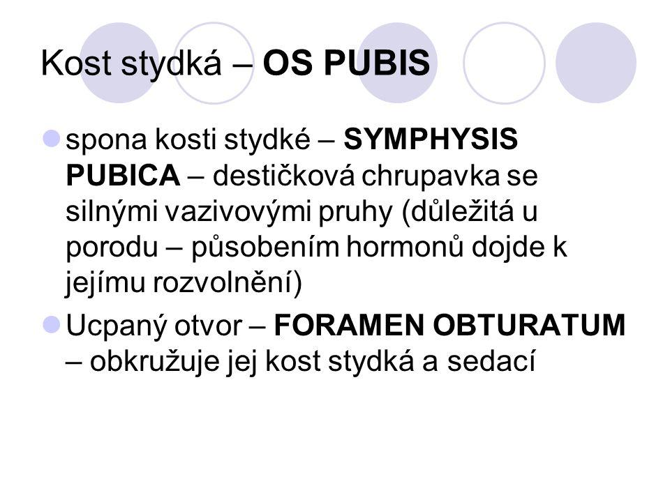 Kost stydká – OS PUBIS spona kosti stydké – SYMPHYSIS PUBICA – destičková chrupavka se silnými vazivovými pruhy (důležitá u porodu – působením hormonů
