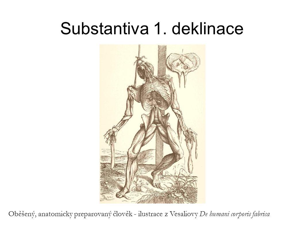 Substantiva 1. deklinace Oběšený, anatomicky preparovaný člověk - ilustrace z Vesaliovy De humani corporis fabrica