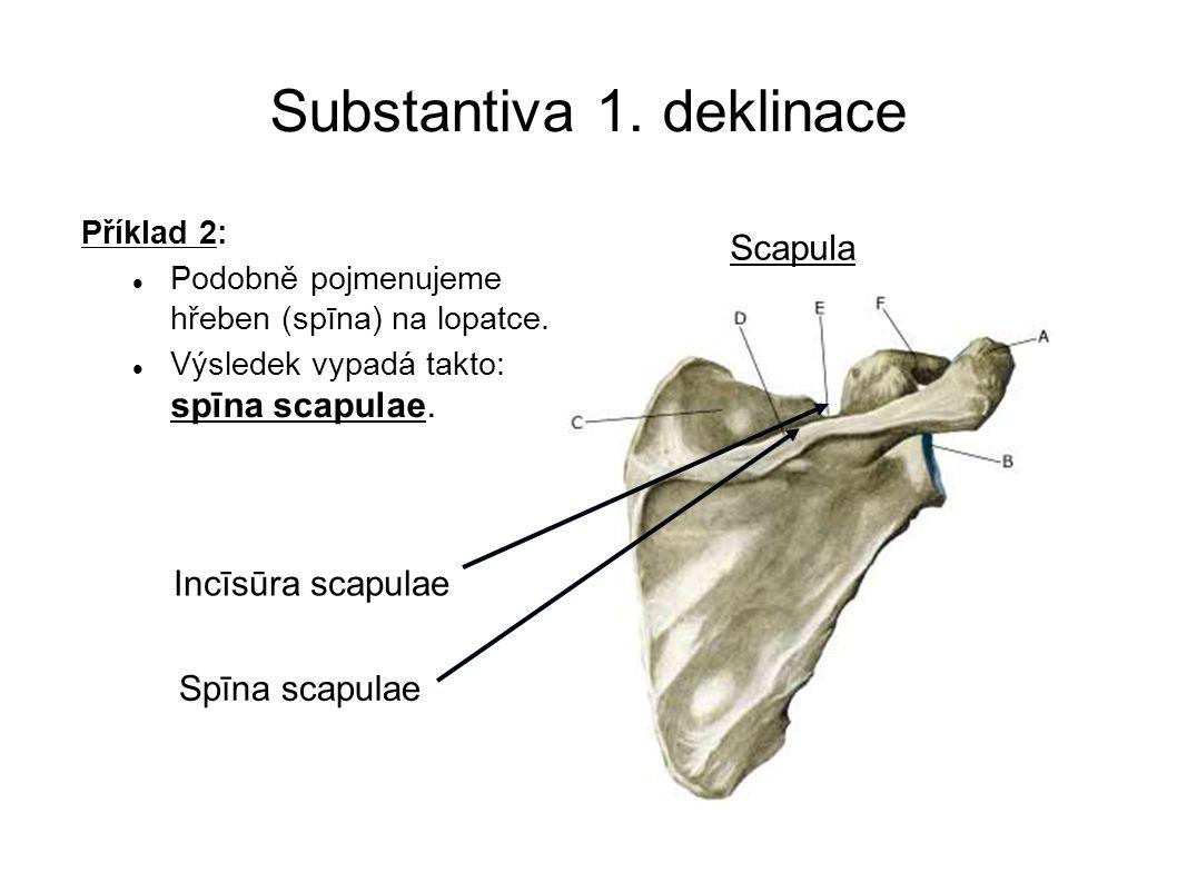 Substantiva 1. deklinace Příklad 2: Podobně pojmenujeme hřeben (spīna) na lopatce. Výsledek vypadá takto: spīna scapulae. Scapula Incīsūra scapulae Sp