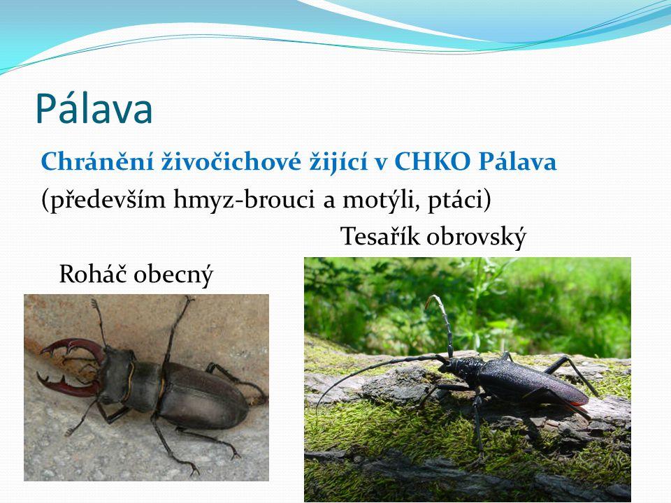 Pálava Chránění živočichové žijící v CHKO Pálava (především hmyz-brouci a motýli, ptáci) Tesařík obrovský Roháč obecný