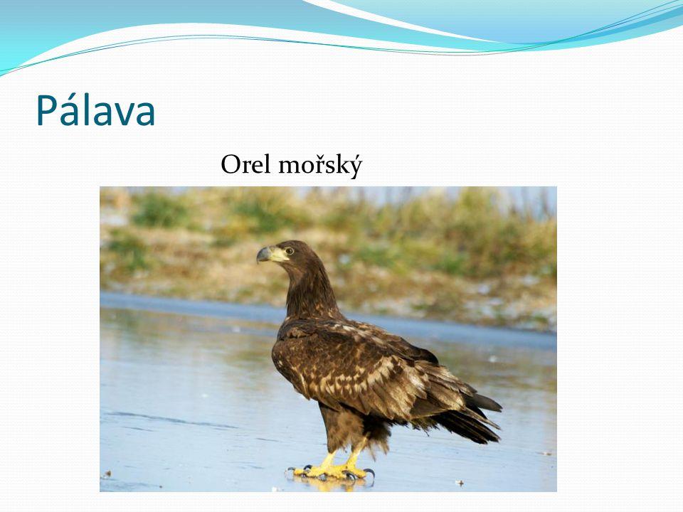 Pálava Orel mořský