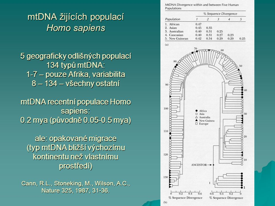 mtDNA žijících populací Homo sapiens 5 geograficky odlišných populací 134 typů mtDNA: 1-7 – pouze Afrika, variabilita 8 – 134 – všechny ostatní mtDNA recentní populace Homo sapiens: 0.2 mya (původně 0.05-0.5 mya) ale: opakované migrace (typ mtDNA bližší výchozímu kontinentu než vlastnímu prostředí) Cann, R.L., Stoneking, M., Wilson, A.C., Nature 325, 1987, 31-36.