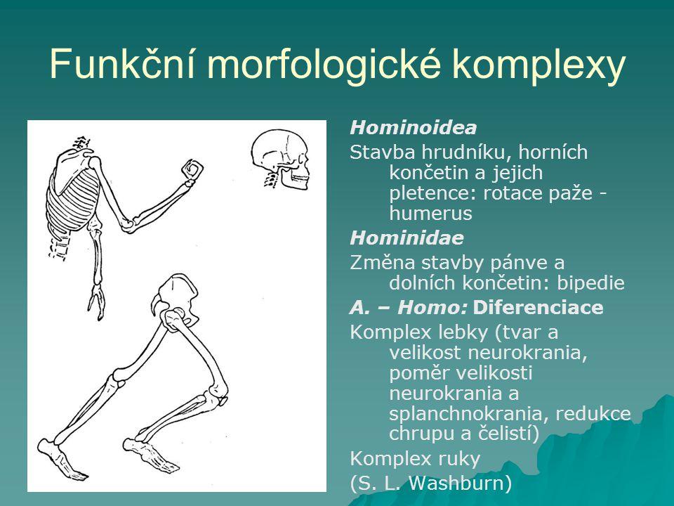 Funkční morfologické komplexy Hominoidea Stavba hrudníku, horních končetin a jejich pletence: rotace paže - humerus Hominidae Změna stavby pánve a dolních končetin: bipedie A.