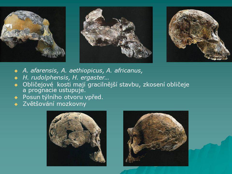   A.afarensis, A. aethiopicus, A. africanus,   H.