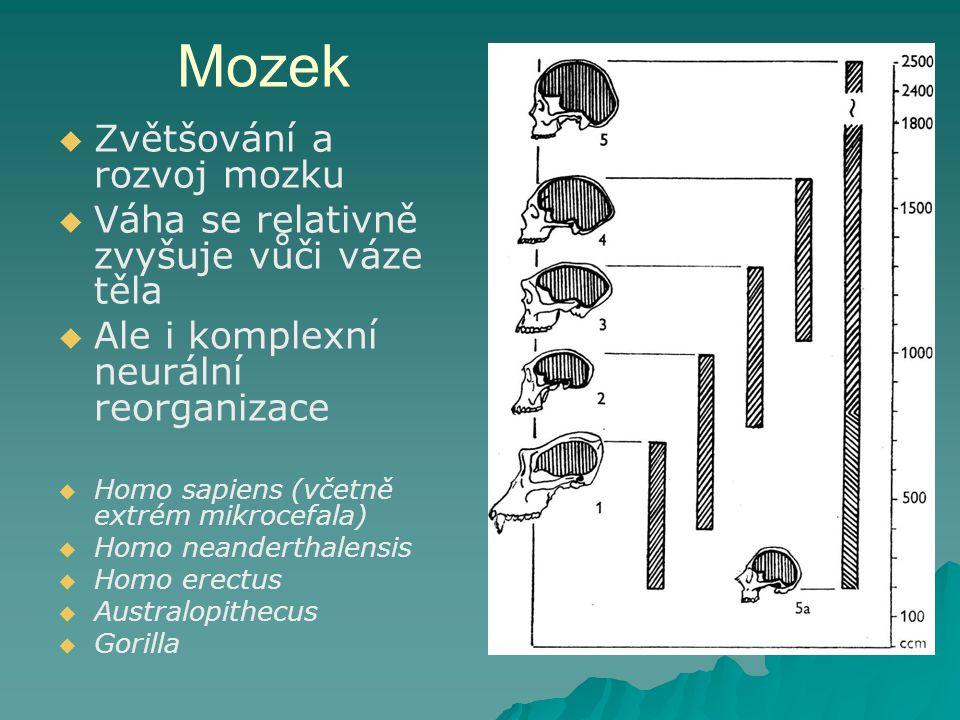 Mozek   Zvětšování a rozvoj mozku   Váha se relativně zvyšuje vůči váze těla   Ale i komplexní neurální reorganizace   Homo sapiens (včetně extrém mikrocefala)   Homo neanderthalensis   Homo erectus   Australopithecus   Gorilla