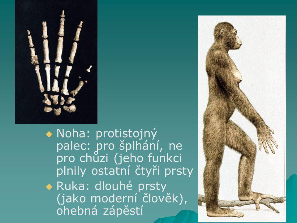   Noha: protistojný palec: pro šplhání, ne pro chůzi (jeho funkci plnily ostatní čtyři prsty   Ruka: dlouhé prsty (jako moderní člověk), ohebná zápěstí