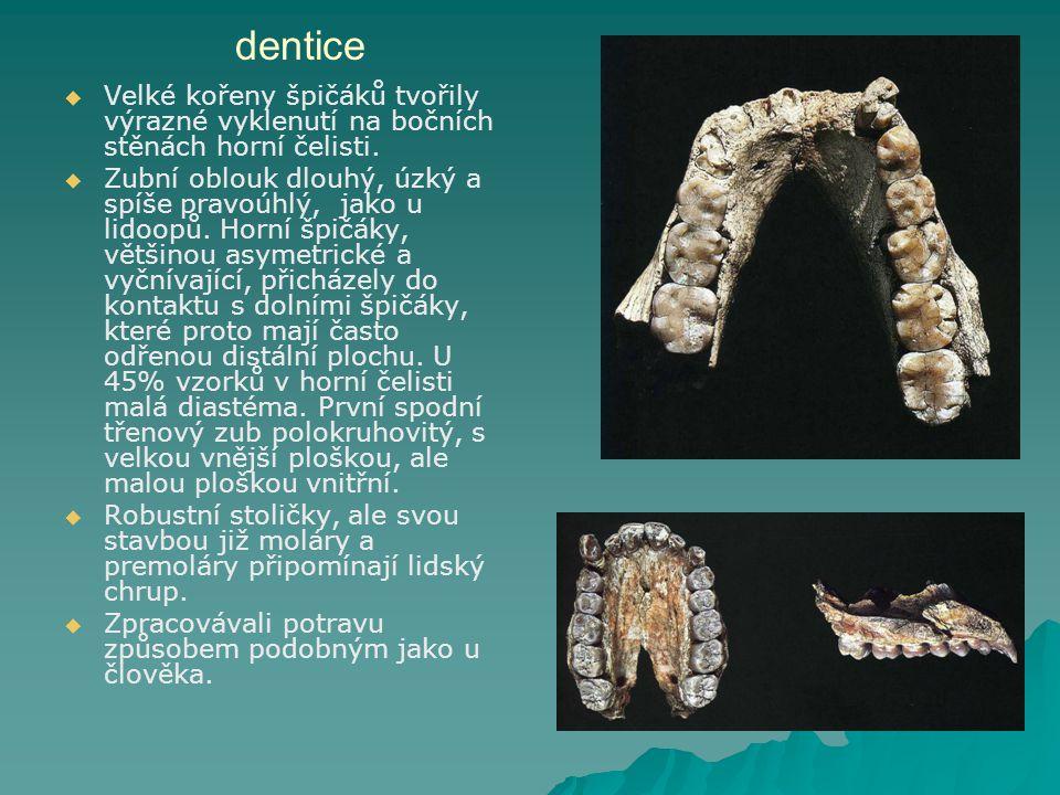 dentice   Velké kořeny špičáků tvořily výrazné vyklenutí na bočních stěnách horní čelisti.