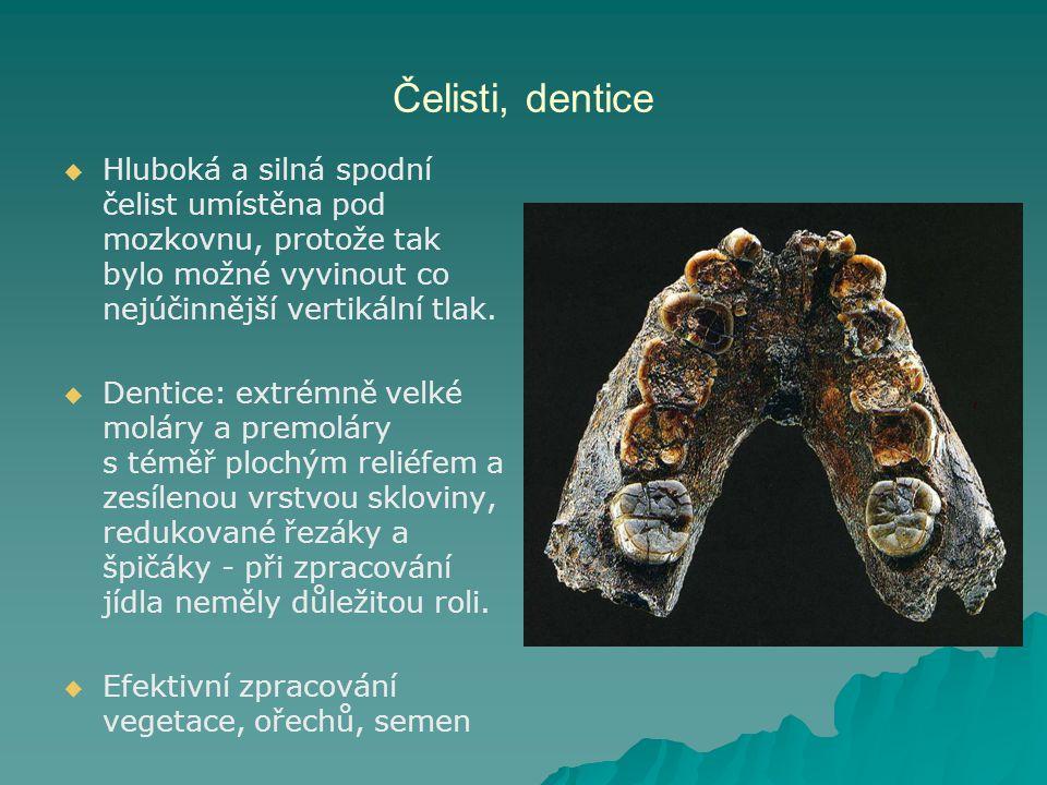 Čelisti, dentice   Hluboká a silná spodní čelist umístěna pod mozkovnu, protože tak bylo možné vyvinout co nejúčinnější vertikální tlak.