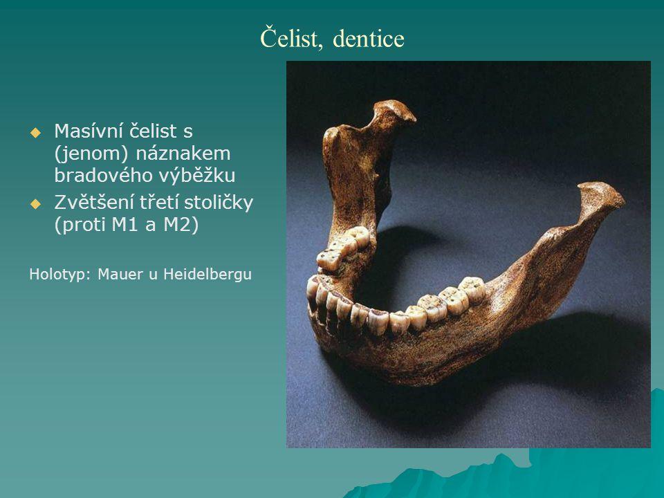 Čelist, dentice   Masívní čelist s (jenom) náznakem bradového výběžku   Zvětšení třetí stoličky (proti M1 a M2) Holotyp: Mauer u Heidelbergu